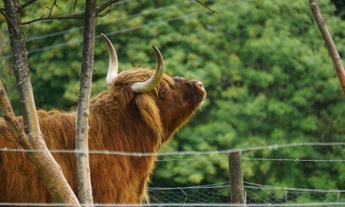 Highland Cattle (Kyloe)