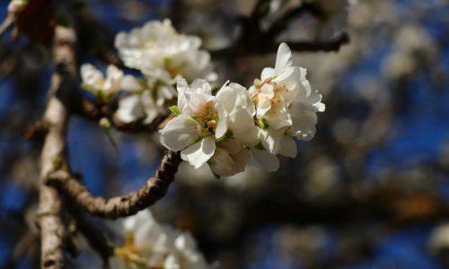 Mandelblüten / Flor de almendro